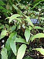 Begonia boisiana1.jpg