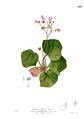 Begonia rhombicarpa Blanco2.413.png