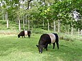 Belted Galloways - geograph.org.uk - 844410.jpg
