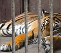 Bengal Tiger at Giza Zoo by Hatem Moushir 58.JPG