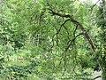 Bent Tree Isar River Garching.jpg