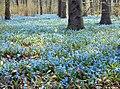 Berlin Tiergarten Springtime Scilla.jpg