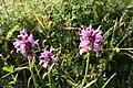Betonica officinalis - img 13645.jpg
