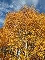 Betula alba-BB5A0171.jpg