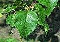 Betula maximowicziana (monarch birch) 4 (39628029772).jpg