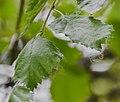 Betula neoalaskana in Hackfalls Arboretum (2).jpg