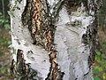 Betula verrucosa a1.jpg