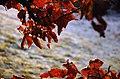 Beukenblad blijft aan de boom hangen en dat kan best mooi zijn - Flickr - rhodes.jpg
