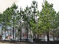 Big Woods State Forest longleaf pine restoration 2.jpg