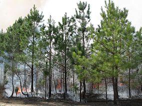Big Woods State Forest longleaf pine restoration 2.jpg
