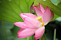 Big lotus by Rebex.jpg
