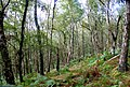 Birch woodland below Froggatt Edge - geograph.org.uk - 550978.jpg