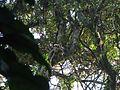 Bird Wreathed hornbill Rhyticeros undulatus IMG 7837 02.jpg