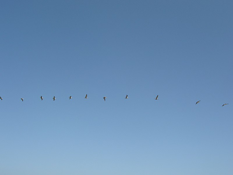 File:Birds flying in formation - panoramio.jpg