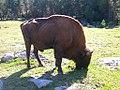 Bison d'Europe.jpg