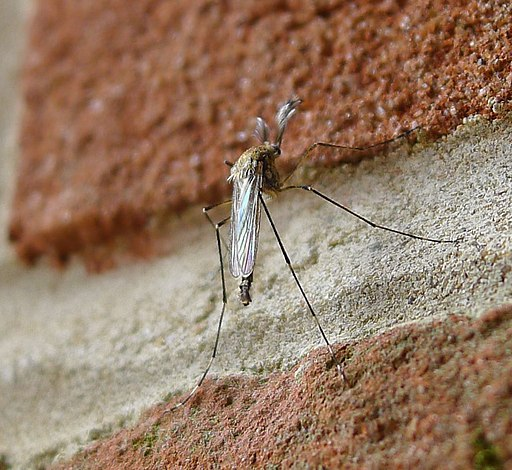 Biting Midge. Culicidae - Flickr - gailhampshire