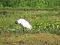 Black-headed Ibis preening at Purbasthali, Burdwan.jpg