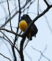 Black-headed Trogon.jpg