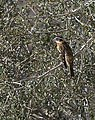 Black-headed grosbeak female.jpg