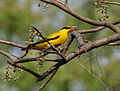 Black-naped Oriole feeding on Lannea coromandelica W IMG 7466.jpg