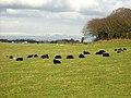 Black Sheep Near Newton Mearns - geograph.org.uk - 148044.jpg