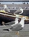 Black Tailed Gull From The Crossley ID Guide Eastern Birds.jpg