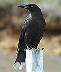 Black currawong.jpg