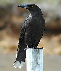 240px black currawong