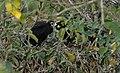 Black eagle 9.jpg
