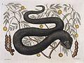 Black viper with Arbor foliis pinnatis, 1731 Wellcome L0035353.jpg