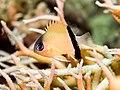 Blackbar chromis (Chromis retrofasciata).jpg