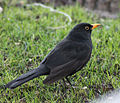 Blackbird in Madrid (Spain) 16.jpg
