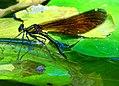Blauflügel Prachtlibelle bei der Eiablage. 01.jpg