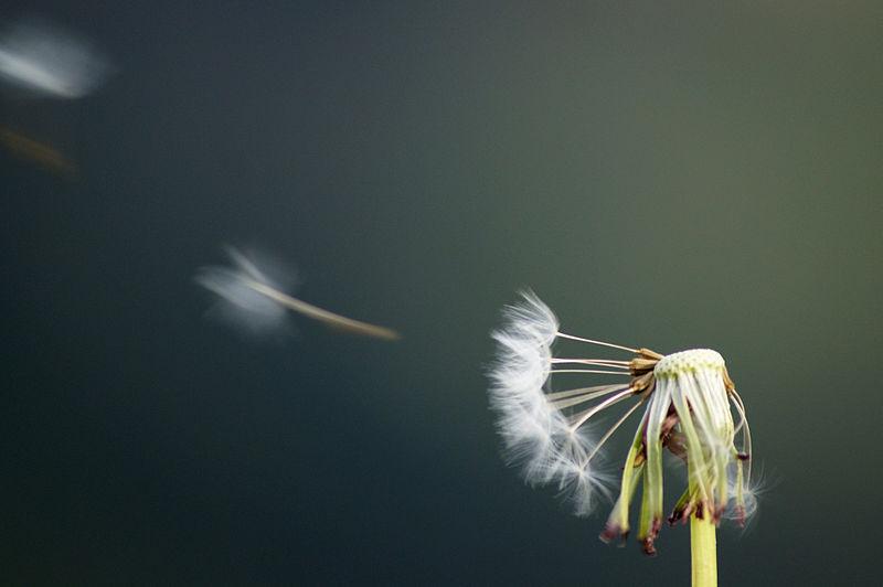 File:Blown dandelions (Diente de Leon, Dandelion).jpg