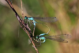 Mating - Blue-tailed damselflies (Ischnura elegans) mating