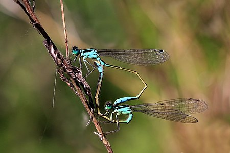 Blue-tailed damselfies (Ischnura elegans) mating; female form typica