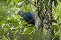 Blue Coua - Andasibè - Madagascar (15102181228).jpg
