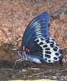 Blue Mormon Papilio polymnestor by Dr. Raju Kasambe DSCN0783 (10).jpg