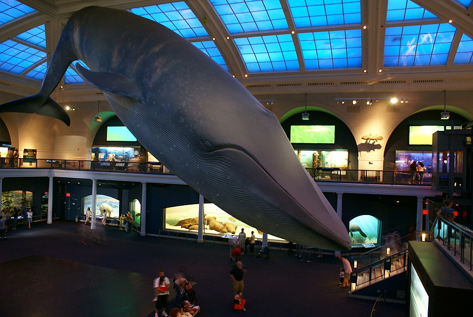 Blue Whale Nat'l Hist Museum