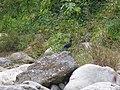 Blue Whistling Thrush - Myophonus caeruleus - P1070820.jpg