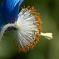 Blue poppy (27346435927).jpg