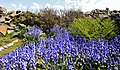 Bluebell Garden MG 9163 (34617652562).jpg