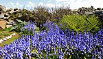 Bluebell Garden MG 9163 (34617652562).jpg