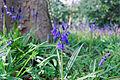 Bluebells (2427564969).jpg