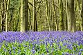 Bluebells - Box Wood (26459973636).jpg