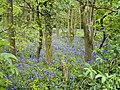 Bluebells in Colonel's Covert - geograph.org.uk - 7970.jpg