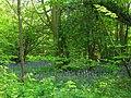 Bluebells in Hazelwood - geograph.org.uk - 1280463.jpg