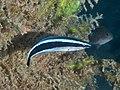 Bluestreak cleaner wrasse (Labroides dimidiatus) (40460962202).jpg