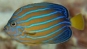 Bluestriped angelfish Chaetodontoplus septentrionalis Side 1883px