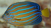 Bluestriped angelfish Chaetodontoplus septentrionalis Side 1883px